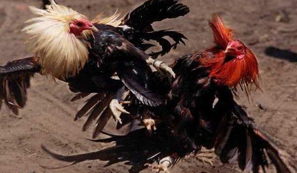 Trik untuk Mendapatkan Bonus Pada Judi Sabung Ayam Online